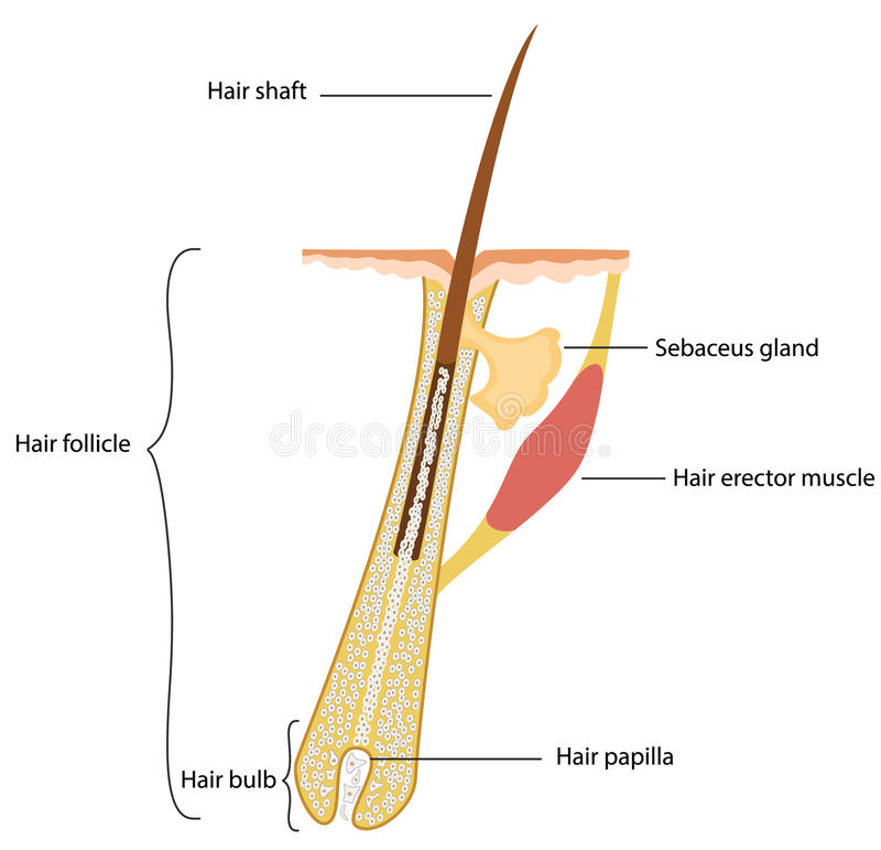 Struttura dei capelli royalty illustrazione gratis