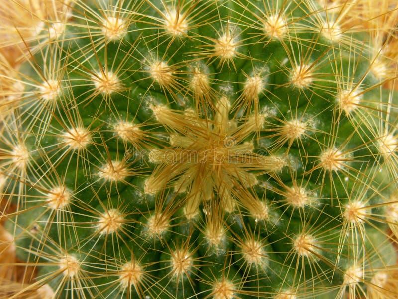 Struttura del cactus fotografia stock libera da diritti