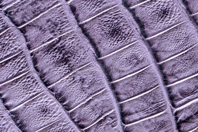 Struttura del cuoio genuino con imitazione del rettile esotico, superficie violetto-chiaro della metallina, fondo d'avanguardia fotografia stock