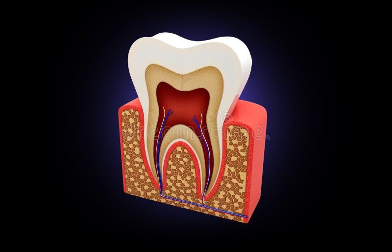 Struttura del dente illustrazione vettoriale