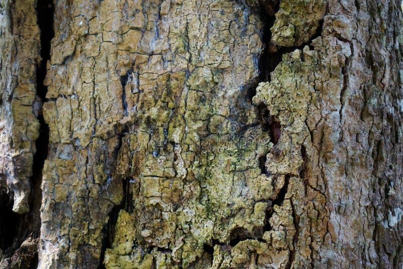 Struttura del dettaglio del tronco di albero come sfondo naturale Carta da parati di struttura dell'albero di corteccia fotografia stock