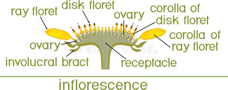 Struttura del fiore del girasole nella sezione trasversale Diagramma del capolino o dello pseudanthium Parti del girasole con i t royalty illustrazione gratis