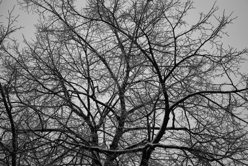 Struttura del fondo dei rami di albero Bello tessuto degli alberi nudi fotografia stock