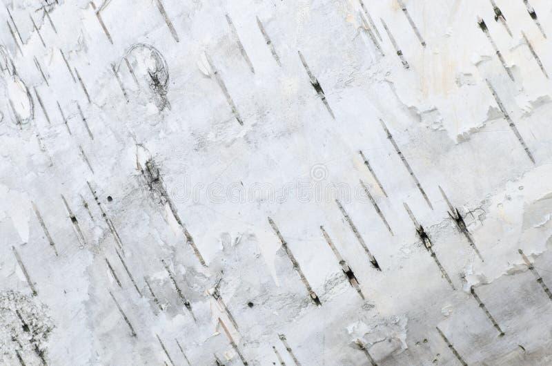 Struttura del fondo della corteccia di betulla fotografie stock libere da diritti