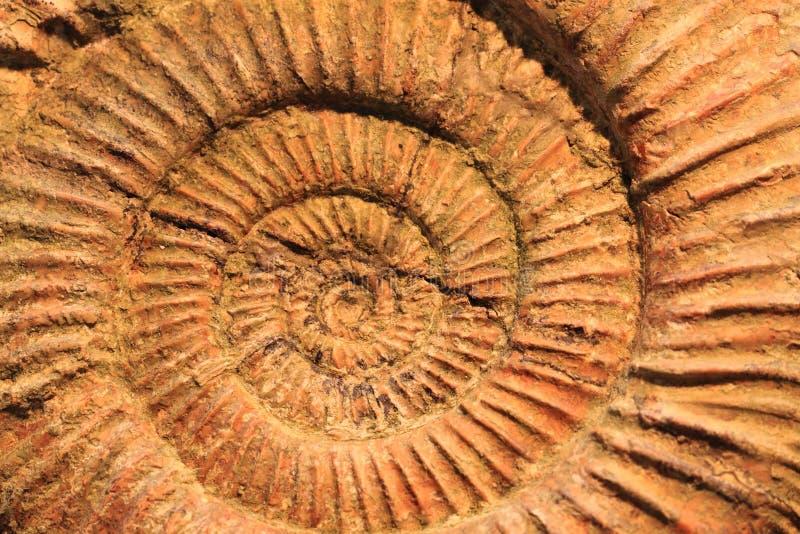struttura del fossile delle ammoniti fotografia stock
