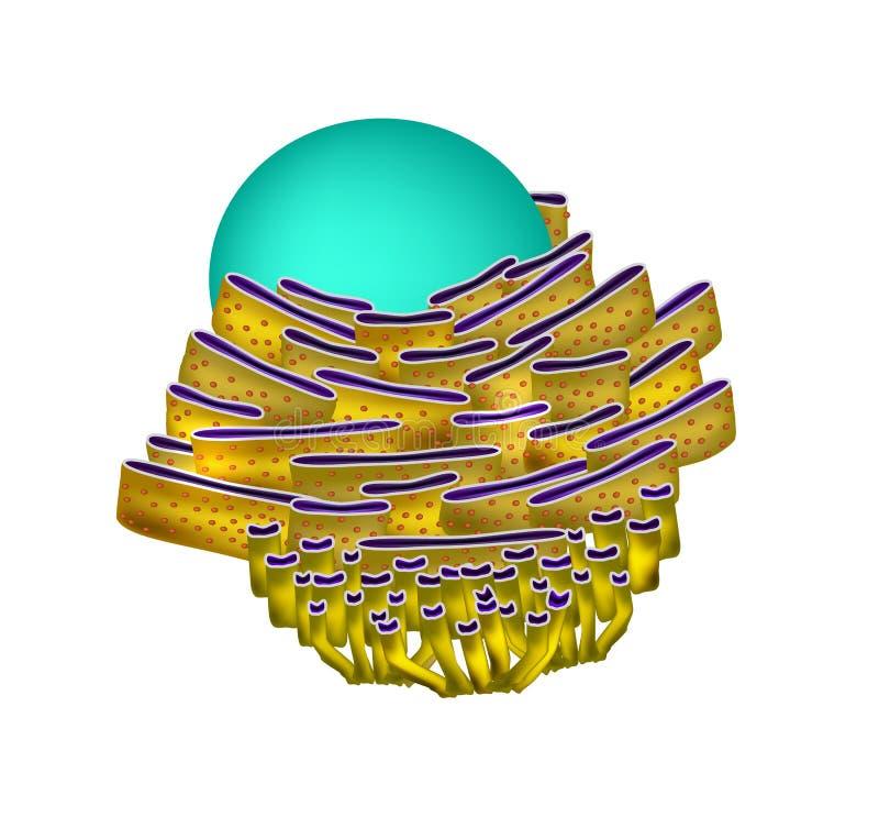 Struttura del reticolo endoplasmatico Infographics illustrazione di stock