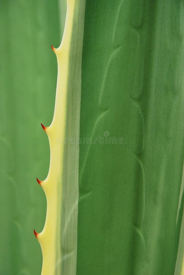 Struttura dell'agave immagini stock