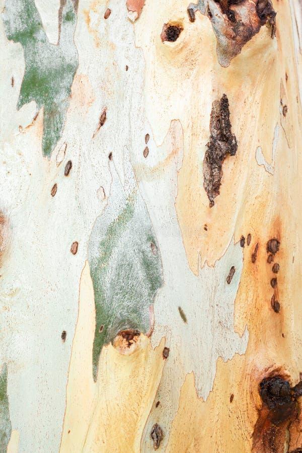 Struttura dell'albero di corteccia dell'eucalyptus immagine stock libera da diritti