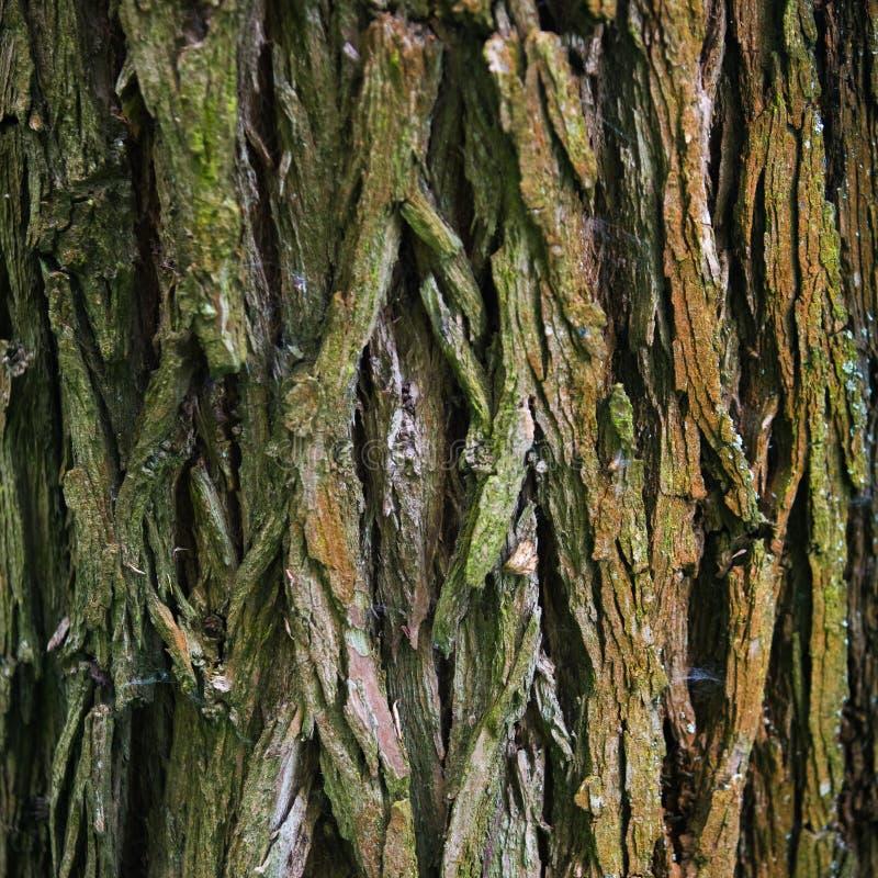 Struttura dell'albero di corteccia in natura fotografia stock libera da diritti