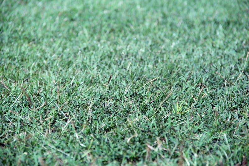 Struttura dell'erba verde Erba artificiale verde sulla terra Giacimento di fienarola dei prati verde per calcio fotografia stock