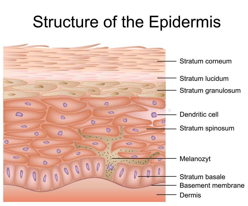 Struttura dell'illustrazione medica di vettore dell'epidermide, anatomia del derma illustrazione di stock