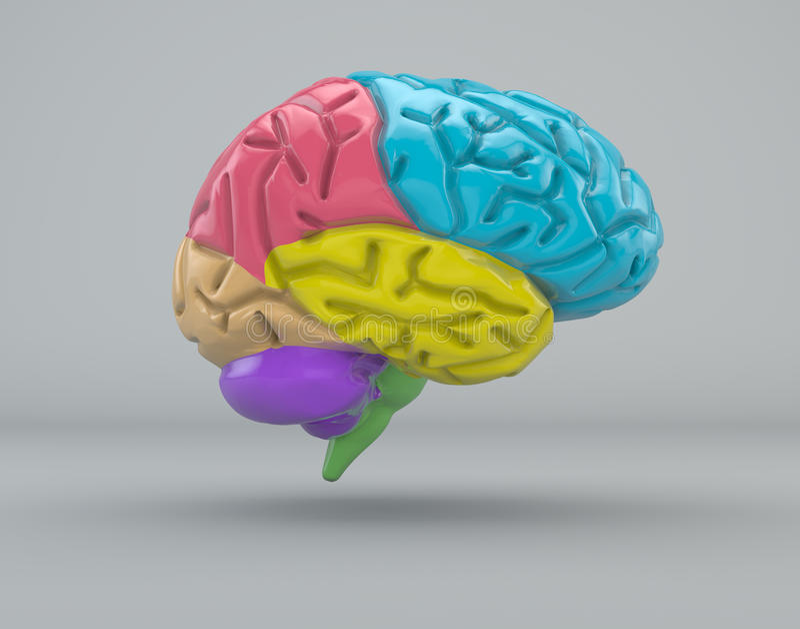 Struttura dell'organo di divisione del cervello illustrazione di stock