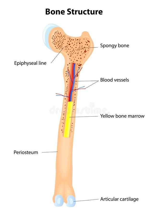 Struttura dell'osso. Schema di vettore royalty illustrazione gratis
