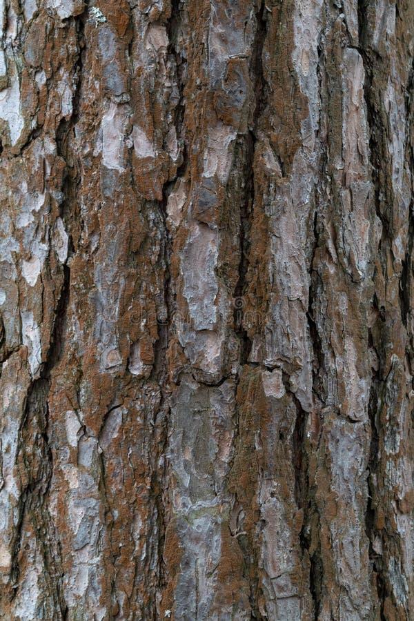 Struttura della corteccia del pino fotografia stock