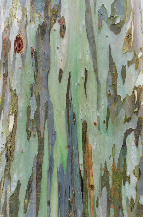 Struttura della corteccia dell'albero di eucalyptus immagini stock libere da diritti