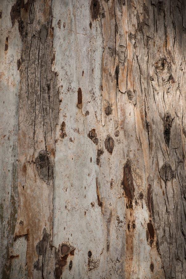 Struttura della corteccia dell'eucalyptus fotografie stock libere da diritti