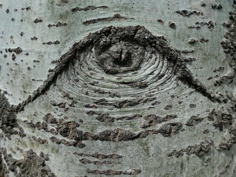 Struttura della corteccia di albero della betulla bianca immagine stock
