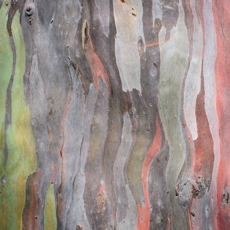 Struttura della corteccia di albero dell'eucalyptus fotografia stock libera da diritti