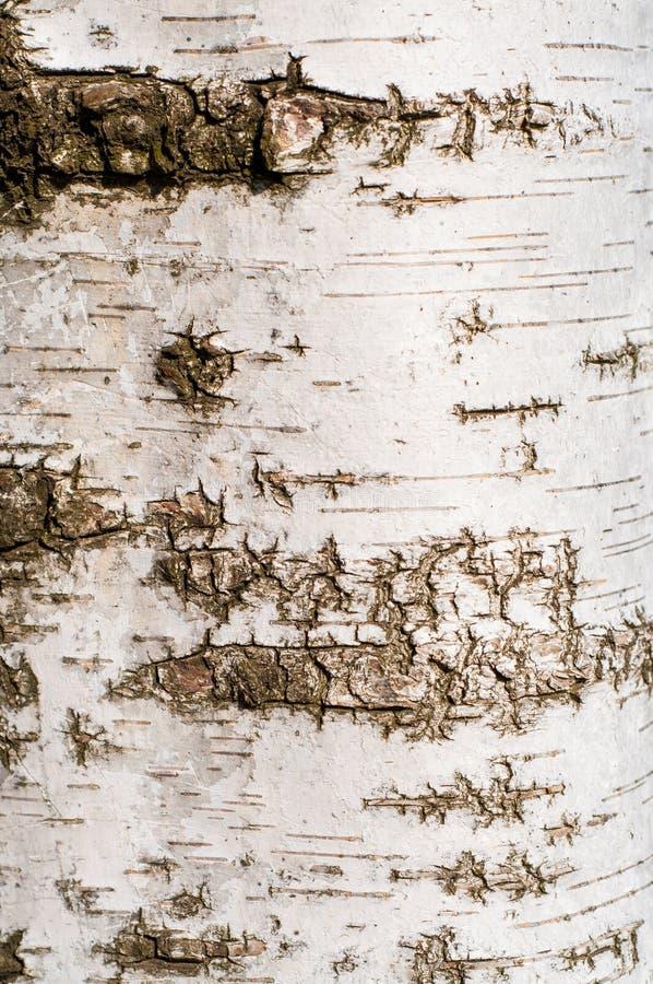 Struttura della corteccia di albero della betulla fotografie stock