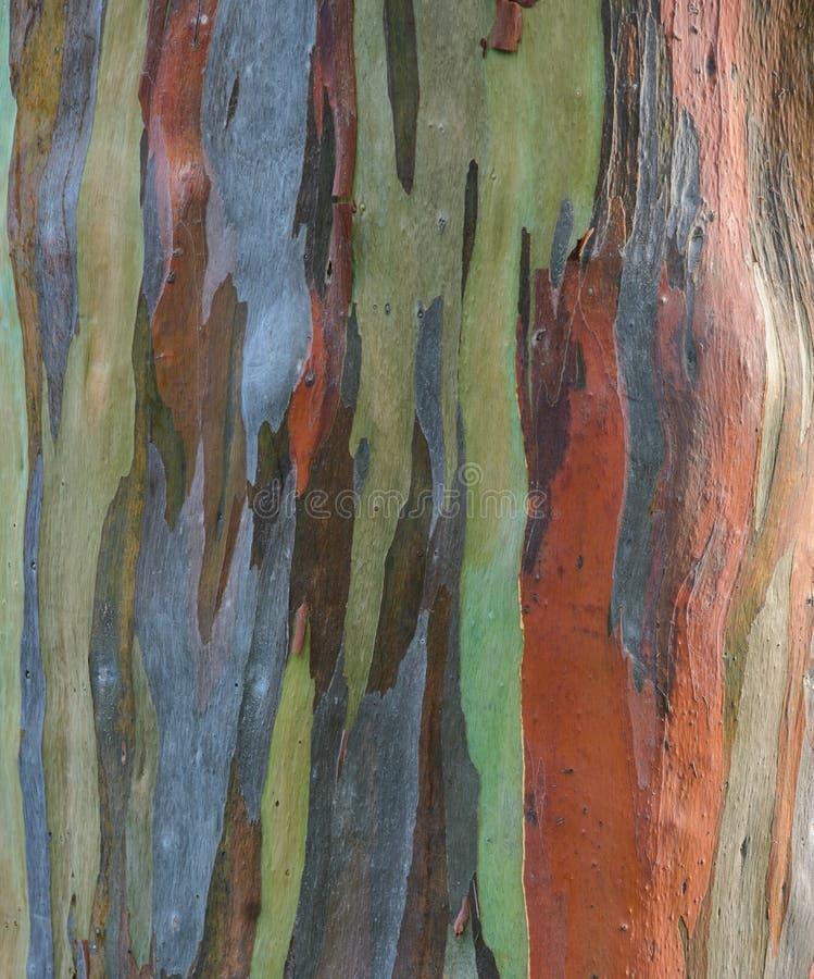 Struttura della corteccia di albero di eucalyptus deglupta immagini stock
