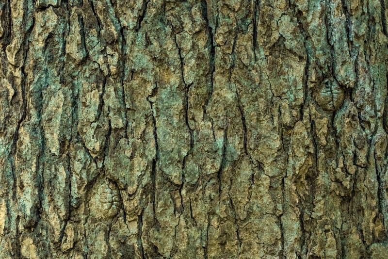 Struttura della corteccia di albero nella fine su fotografia stock libera da diritti