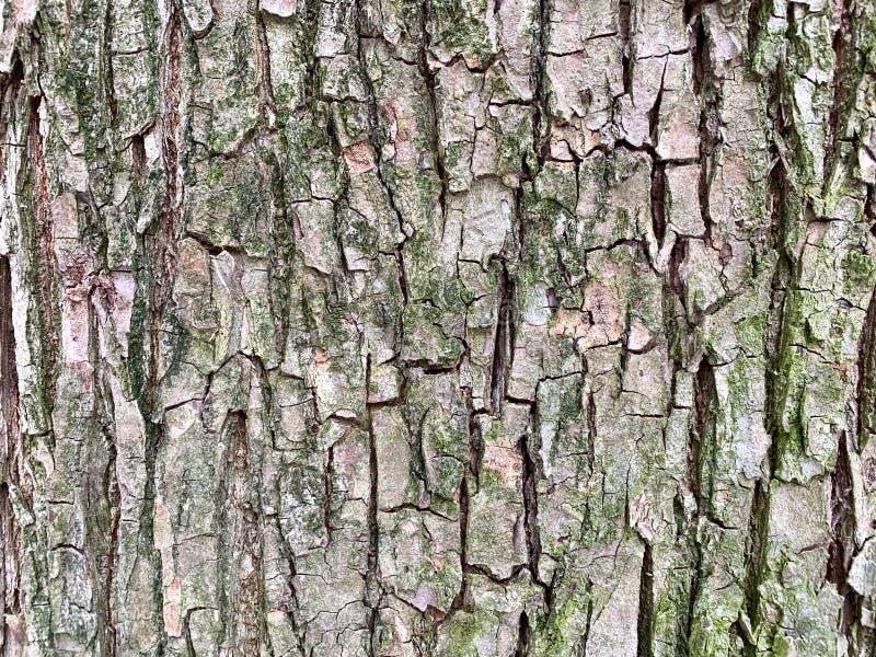 Struttura della corteccia di albero, un piccolo muschio verde fotografia stock