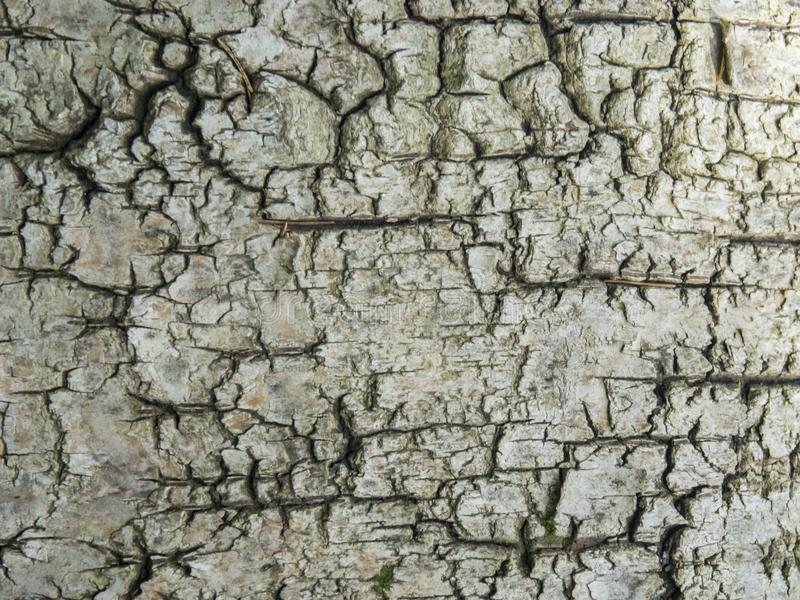Struttura della corteccia di betulla immagine stock libera da diritti