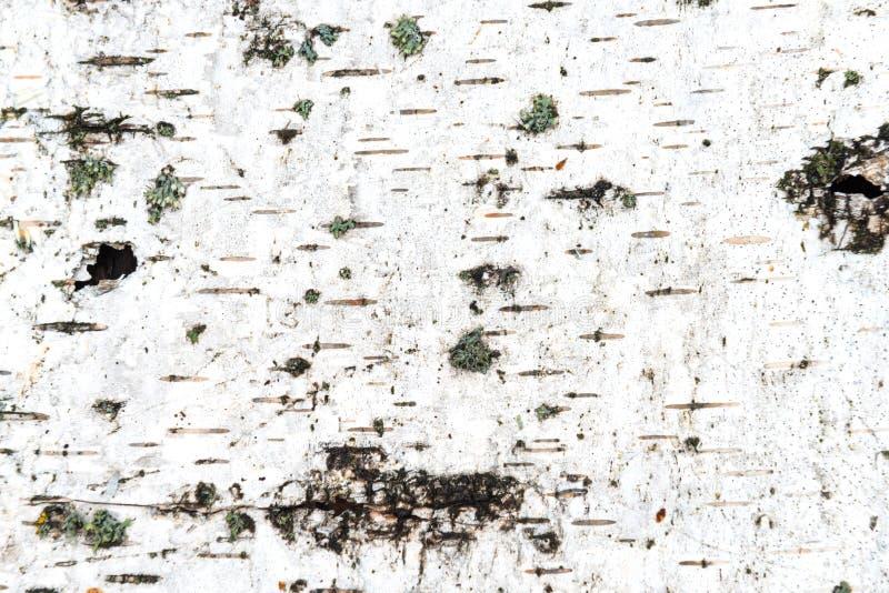 Struttura della corteccia di betulla bianca immagine stock