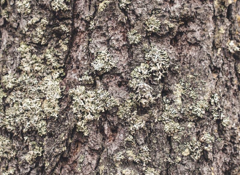 Struttura della corteccia di un pino con i licheni e un muschio immagine stock