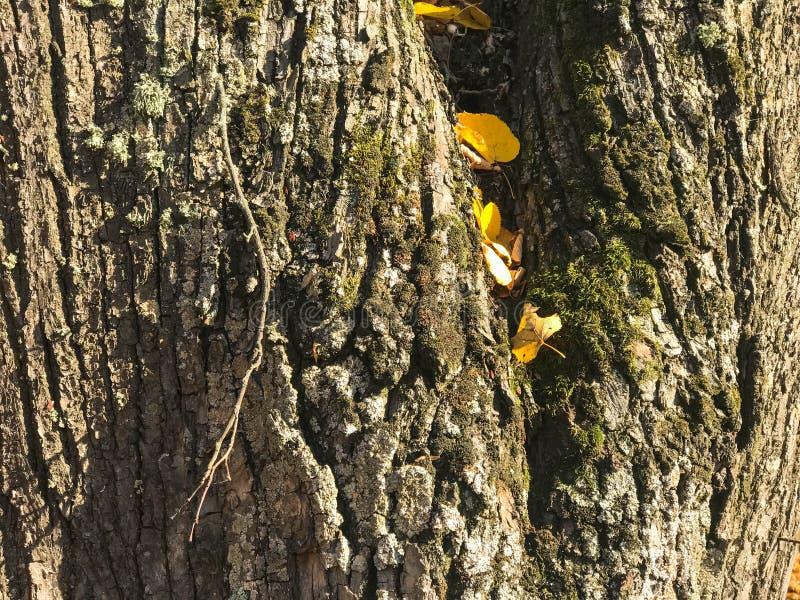 Struttura della corteccia scura naturale legnosa con muschio e crepe ed urlo fotografia stock libera da diritti