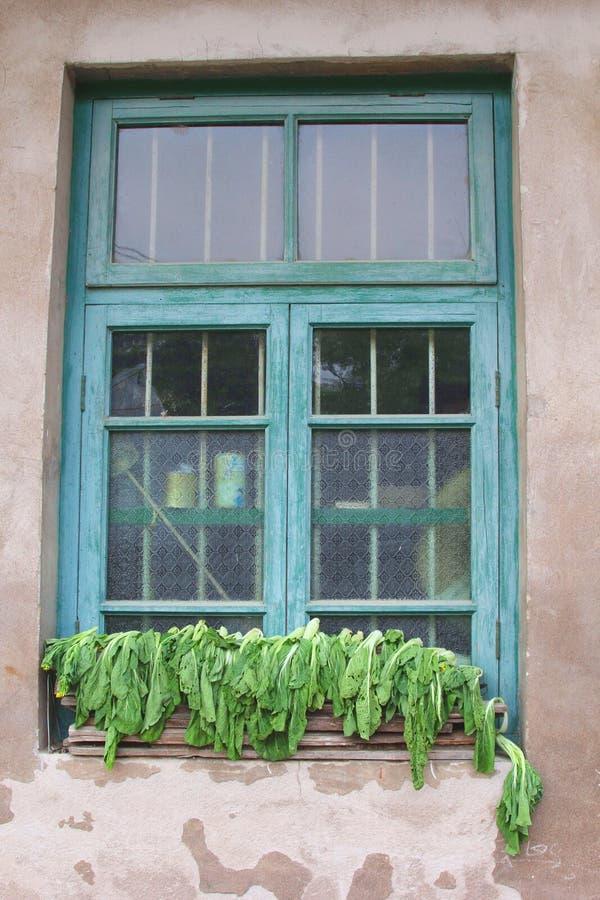 Struttura della finestra blu con il cavolo cinese che si asciuga al sole fotografie stock libere da diritti