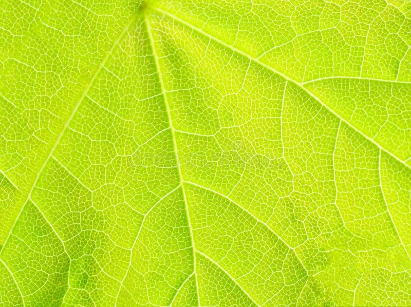 Struttura della foglia di acero verde. fotografie stock libere da diritti