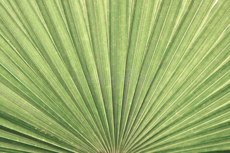 Struttura della foglia di palma del primo piano immagine stock libera da diritti