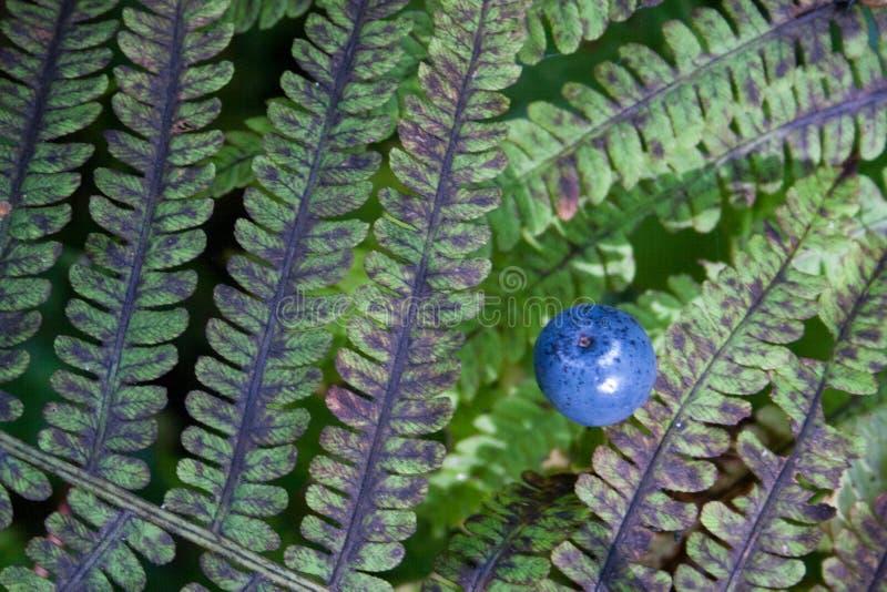 Struttura della foglia della felce di colore lilla e verde con la bacca rotonda blu sopra  fotografia stock