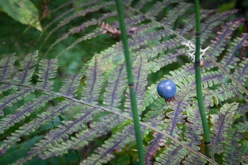 Struttura della foglia della felce di colore lilla e verde con la bacca rotonda blu sopra  immagini stock