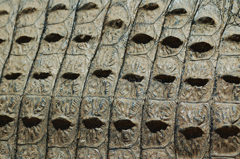 Download Struttura Della Pelle Del Coccodrillo Fotografia Stock - Immagine di selvaggio, cacciatore: 209904