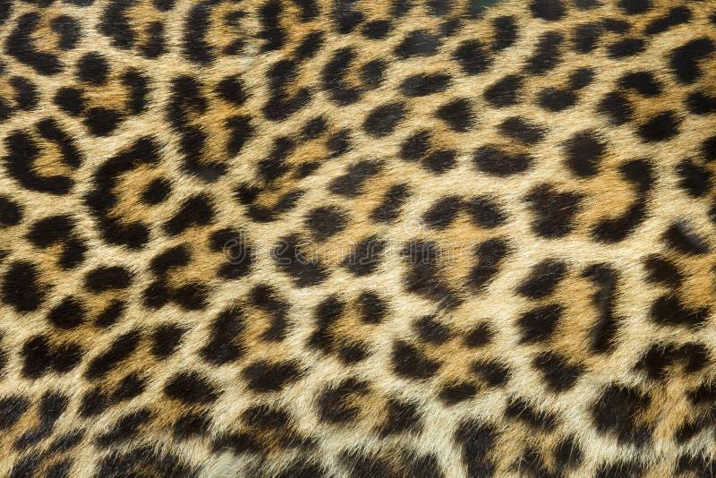 Struttura della pelliccia del leopardo fotografia stock libera da diritti