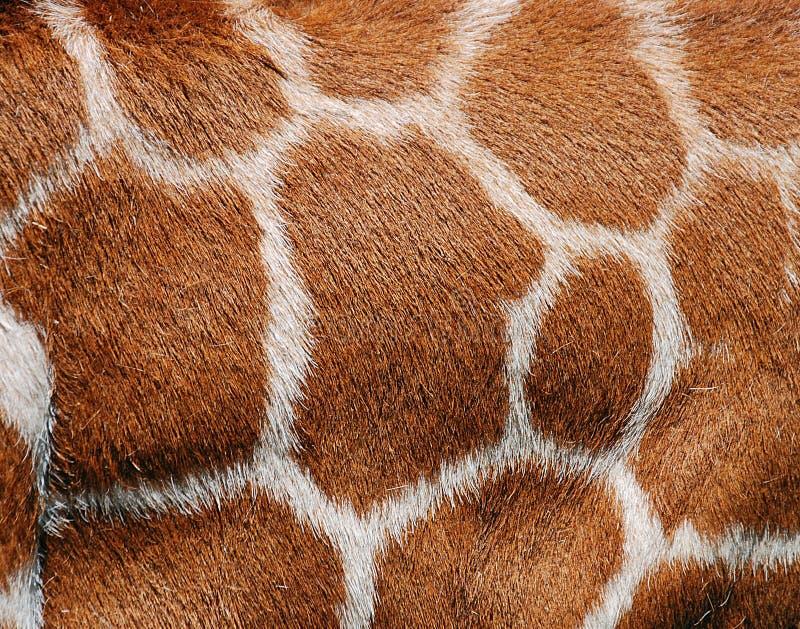 Struttura della pelliccia della giraffa fotografie stock libere da diritti