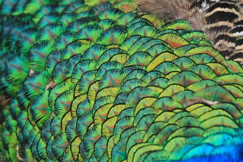 Struttura della piuma del pavone fotografia stock