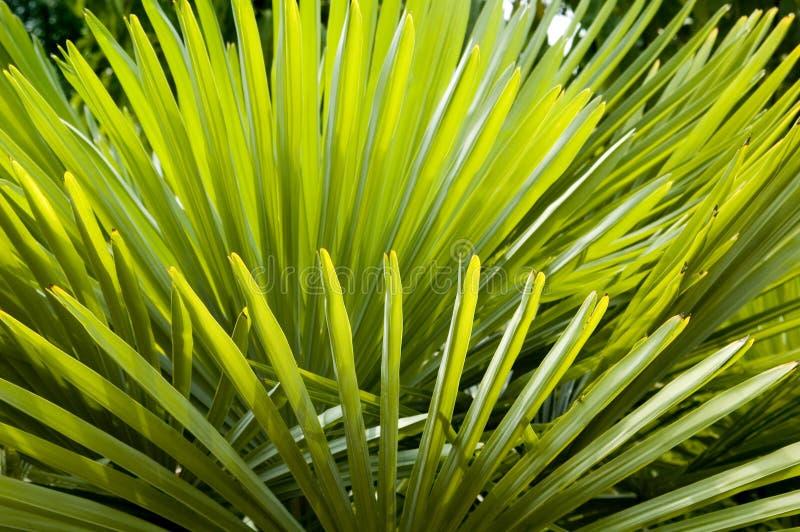 Struttura della priorità bassa della fronda della palma immagini stock