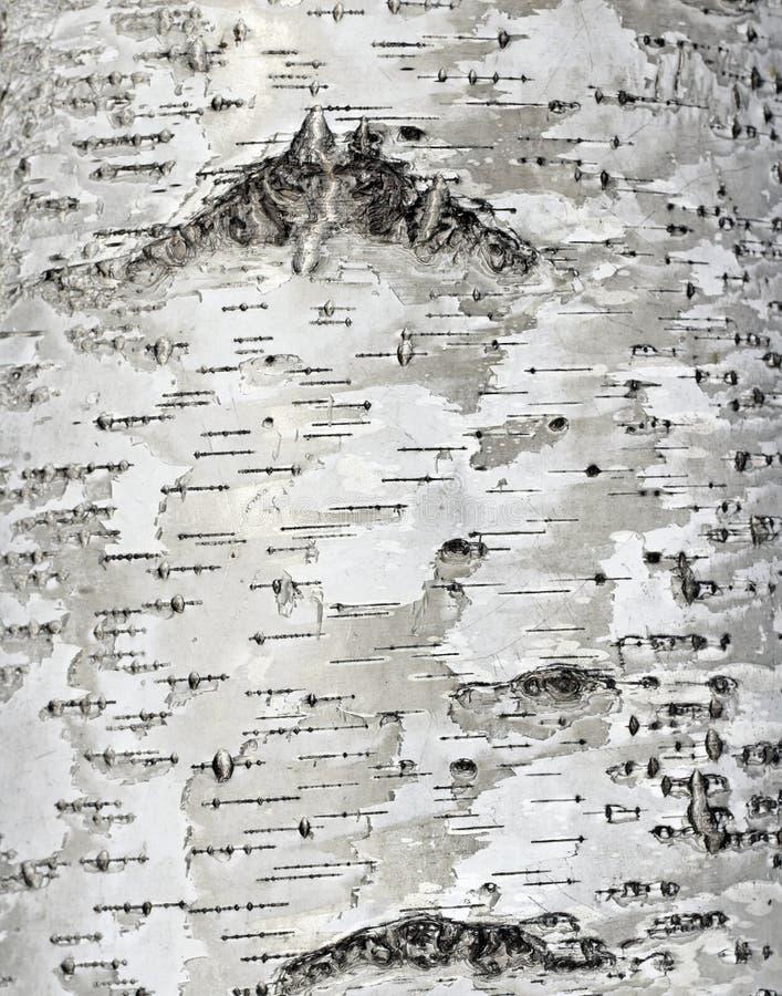 struttura della superficie della corteccia di betulla fotografia stock