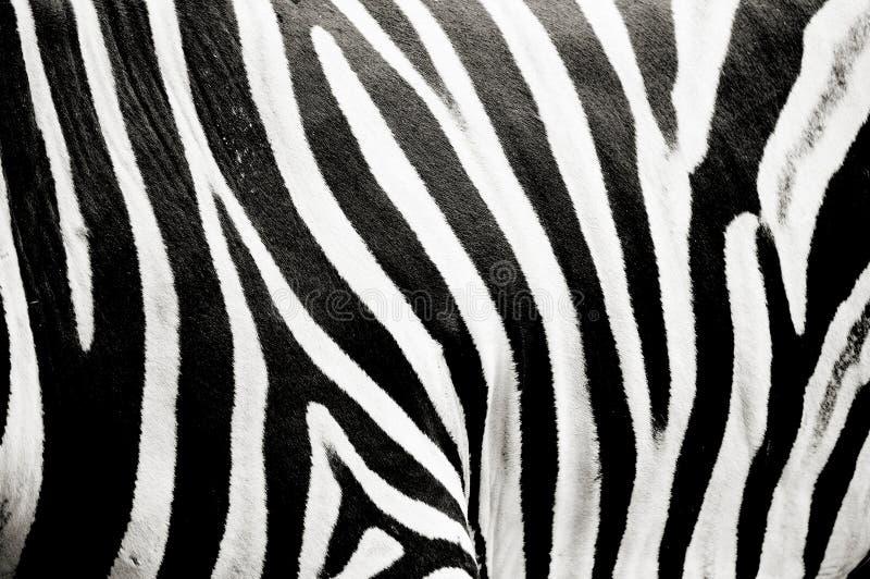 Struttura della zebra immagine stock