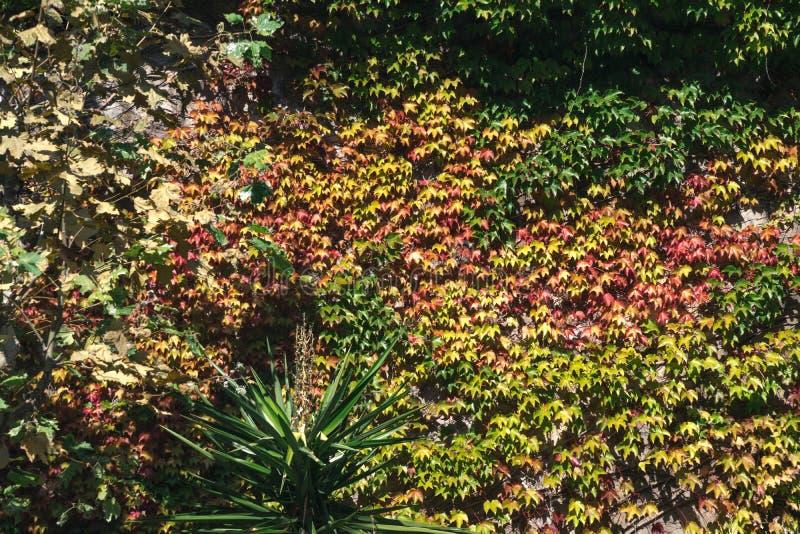 Struttura delle foglie dell'edera su una parete di pietra, concetto di vecchie citt?, case, costruzioni, vegetazione su calcestru immagini stock libere da diritti