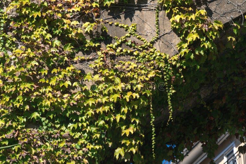 Struttura delle foglie dell'edera su una parete di pietra, concetto di vecchie citt?, case, costruzioni, vegetazione su calcestru fotografia stock