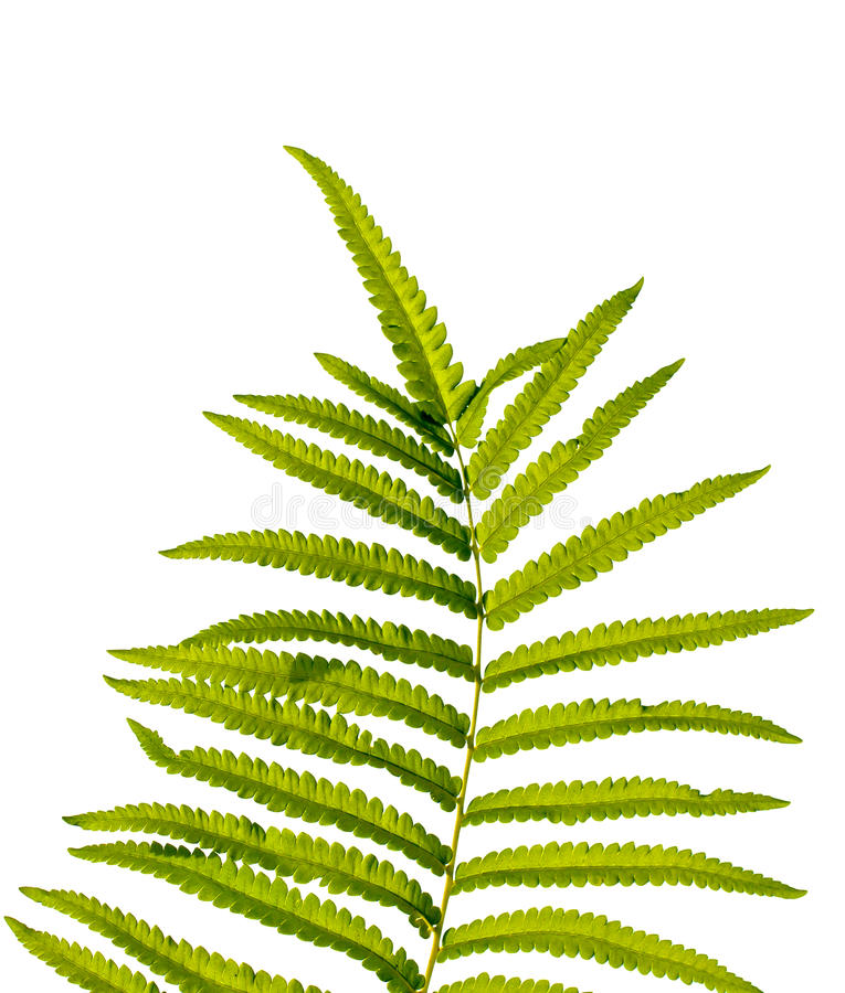 Struttura delle foglie della felce su fondo bianco Isolato fotografia stock