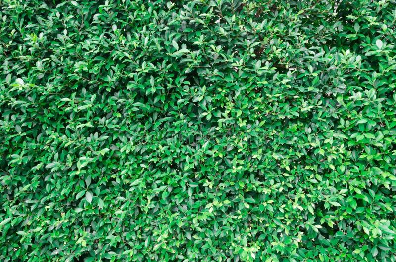 Struttura delle foglie verdi immagine stock