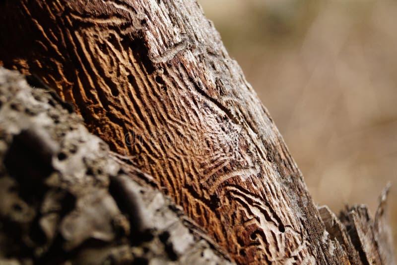 Struttura dello scarabeo di corteccia fotografia stock