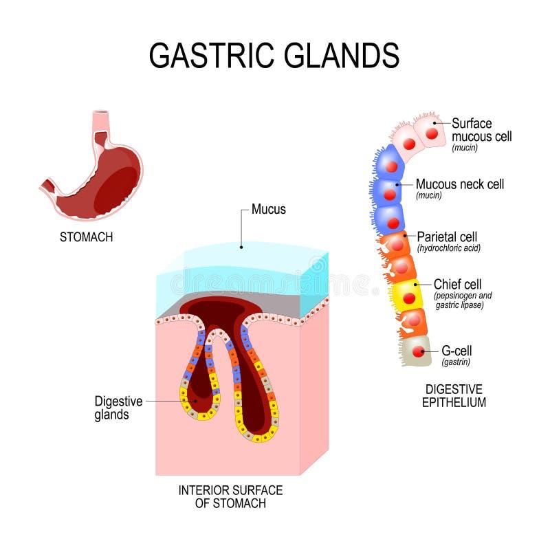Struttura dello stomaco: superficie dell'interno e cellule di digestiv illustrazione vettoriale