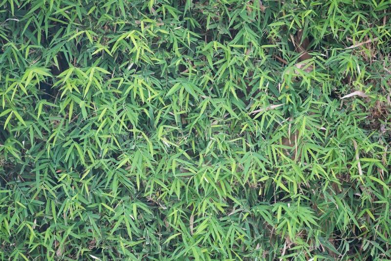 Struttura di bambù della parete delle foglie verdi fotografia stock libera da diritti
