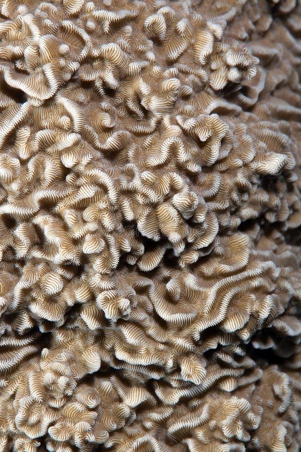 Struttura di corallo duro nel Mar Rosso. immagine stock